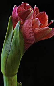 Fotos Amaryllis Nahaufnahme Schwarzer Hintergrund Blumen