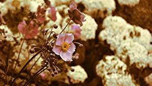 Hintergrundbilder Anemone Unscharfer Hintergrund Rosa Farbe Blüte