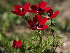 Bilder Anemonen Unscharfer Hintergrund Rot Blüte