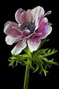 Fotos Anemone Nahaufnahme Schwarzer Hintergrund Blüte