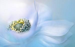 Hintergrundbilder Anemone Großansicht Weiß Blumen