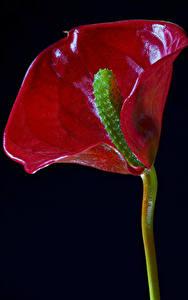 Tapety na pulpit Anturium Zbliżenie Na czarnym tle Czerwony Kwiaty