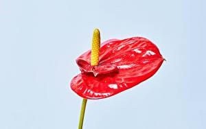 Bilder Anthurium Farbigen hintergrund Rot Blüte