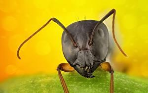 Fotos Ameisen Großansicht Makro Kopf Tiere