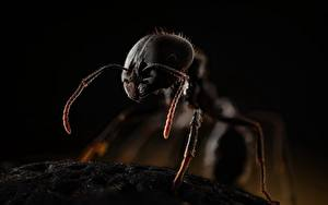 桌面壁纸,,蚂蚁,特寫,messor,動物