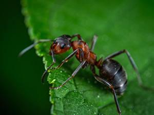 Hintergrundbilder Ameisen Insekten Großansicht Makrofotografie Tiere