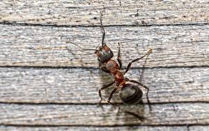 Tapety na pulpit Mrówki Owady Z bliska red forest ant Zwierzęta