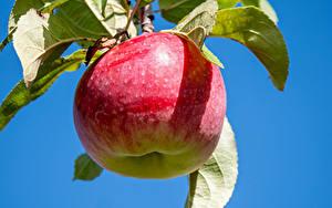 Bilder Äpfel Großansicht Ast Lebensmittel