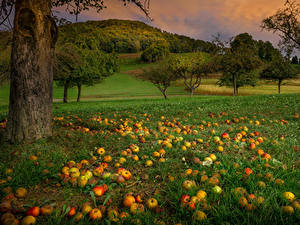 Desktop hintergrundbilder Äpfel Bäume Gras Natur