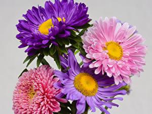 Fotos Astern Großansicht Grauer Hintergrund Mehrfarbige Blumen