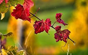Fotos Herbst Unscharfer Hintergrund Ast Blatt Rot Natur