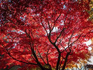 Bilder Herbst Ast Blattwerk Rot Bäume Ahorne