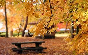 Bilder Herbst Ast Ahorn Unscharfer Hintergrund Bank (Möbel) Natur
