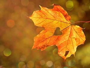 Hintergrundbilder Herbst Hautnah Blatt Ahorne Herz