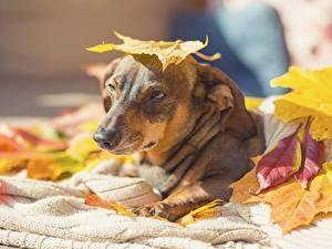Hintergrundbilder Herbst Hunde Blatt Starren ein Tier