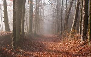Images Autumn Forests Trees Leaf Path Fog Nature