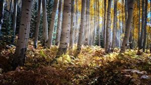 Bilder Herbst Wälder Bäume Lichtstrahl Birken