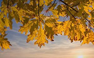 Hintergrundbilder Herbst Eichen Ast Blattwerk Natur