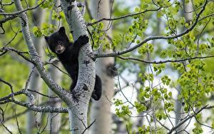 Bilder Bären Jungtiere Ast Tiere