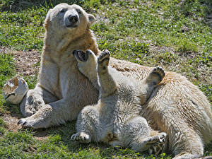 Hintergrundbilder Bären Eisbär Jungtiere 2