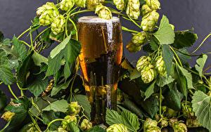 Hintergrundbilder Bier Echter Hopfen Trinkglas Ast Lebensmittel