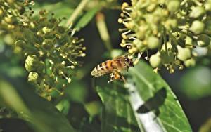 Tapety na pulpit Pszczoła Insekty Z bliska Rozmazane tło zwierzę