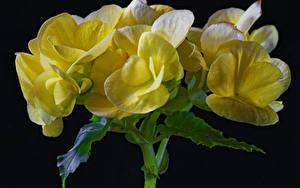 Hintergrundbilder Begonien Großansicht Schwarzer Hintergrund Gelb Blumen