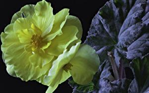 Bilder Begonien Großansicht Schwarzer Hintergrund Gelb Blumen