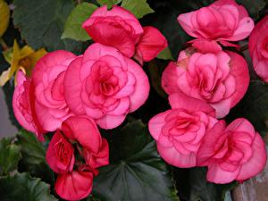 Fotos Begonien Hautnah Rosa Farbe Blüte