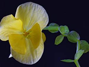Hintergrundbilder Begonien Großansicht Gelb Blumen