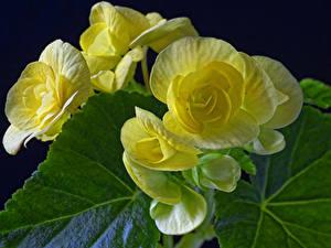 Desktop hintergrundbilder Begonien Großansicht Gelb Blüte