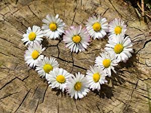 Hintergrundbilder Gänseblümchen Großansicht Herz Weiß Baumstumpf Blüte