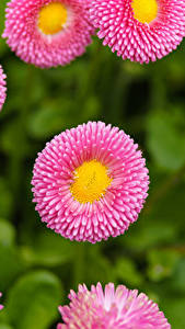 Pictures Bellis Closeup Pink color Flowers