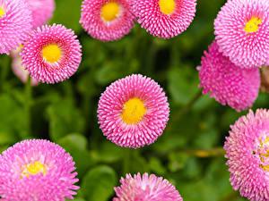 Hintergrundbilder Gänseblümchen Großansicht Rosa Farbe Blumen