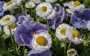 Hintergrundbilder Gänseblümchen Ackerveilchen Großansicht Blumen