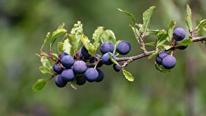 Fotos Beere Großansicht Ast Prunus spinosa das Essen