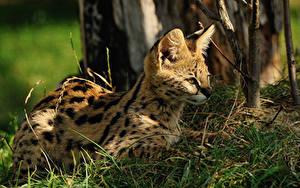 Bilder Große Katze Jungtiere Serval Gras