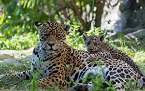 Fotos Große Katze Jaguaren Jungtiere