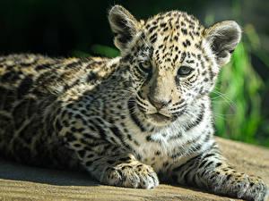 Hintergrundbilder Große Katze Jaguaren Jungtiere