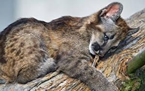 Fotos Große Katze Leopard Jungtiere