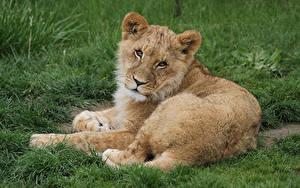 Bilder Große Katze Löwe Jungtiere Blick Tiere