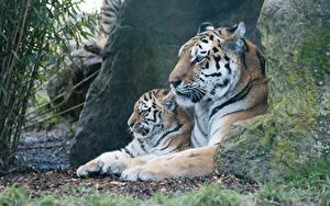 Fotos Große Katze Tiger Jungtiere Zwei