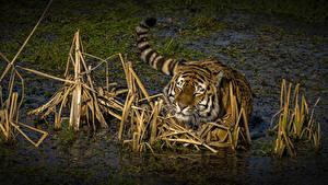 Hintergrundbilder Große Katze Tiger Wasser Sumpf Tiere