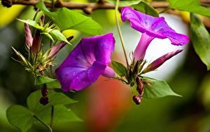 Bilder Winden Nahaufnahme Violett Blatt Blumen