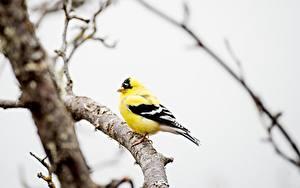 Hintergrundbilder Vogel Bokeh Ast Gelb American Goldfinch Tiere