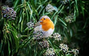 Fotos Vögel Beere Unscharfer Hintergrund Ast European robin Tiere