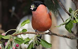 Fotos Vogel Gimpel Unscharfer Hintergrund Ast Blatt