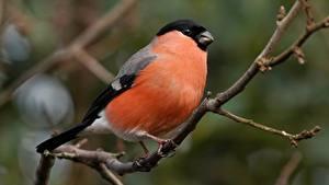 Hintergrundbilder Vogel Gimpel Ast ein Tier