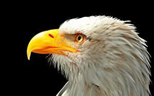Fotos Vögel Großansicht Schnabel Weißkopfseeadler Kopf Schwarzer Hintergrund Tiere