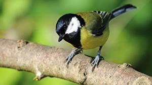 Wallpaper Birds Closeup Tits Branches Great tit Animals